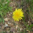 L'Albert Mallol, botànic i etnobotànic reconegut vivint a Toès, nos aconsella escorcollar a prop de casa perquè hi podrem trobar fàcilment tota una sèrie de plantes força útils. 1/ En […]