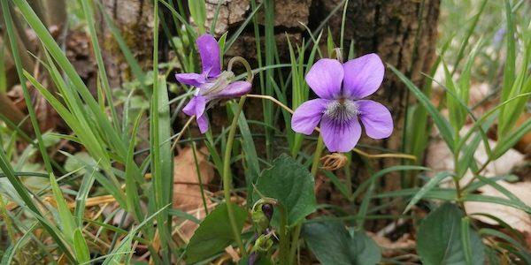 Flora local del corona virus, és a dir plantes que podem veure molt a prop de casa. Les fotos han estat fetes a Toès i Entrevalls per l'Albert Mallol que […]